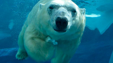 New polar bear lands in Detroit, with romance the goal