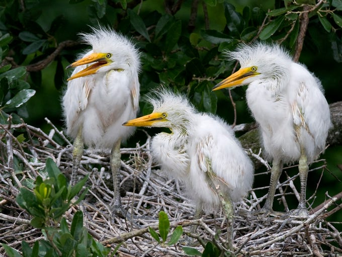 Edwin Cohen of Marco Island took this photo of Egrets