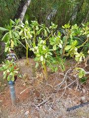 A nanasu plant, also known as beach naupaka, is shown