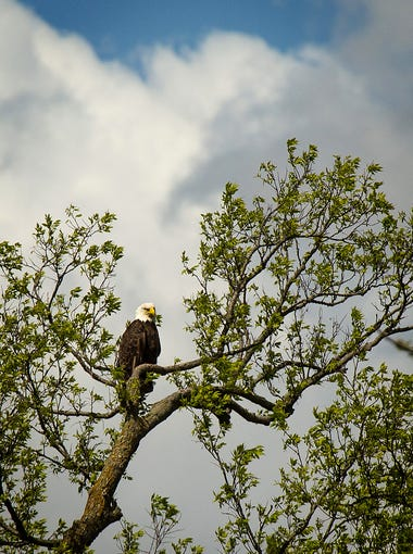 A bald eagle looks out over the Raccoon River Thursday,