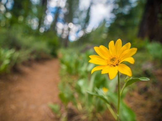 Along Sagehen Creek, you might find camas lilies, wild