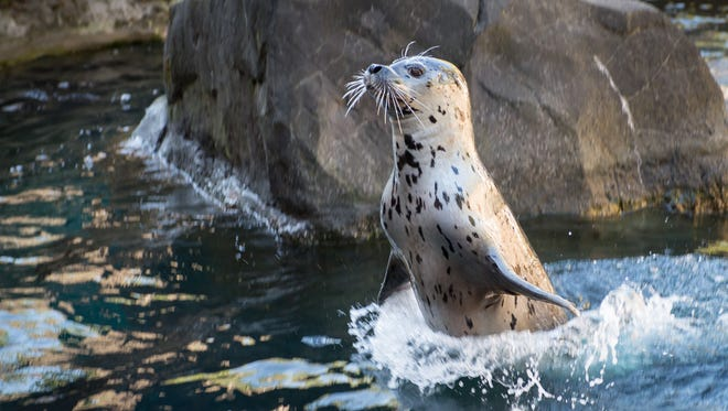 Eight year-old harbor seal Tongass jumping out of the water in Steller Cove.