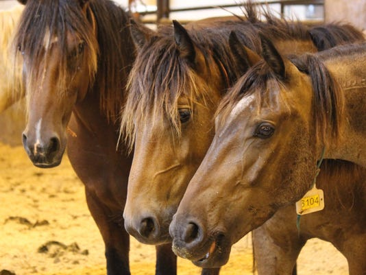 wild mustangs up for adoption