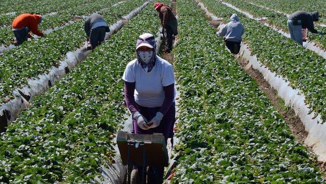 Migrant workers harvest strawberries at a farm near Oxnard, California.