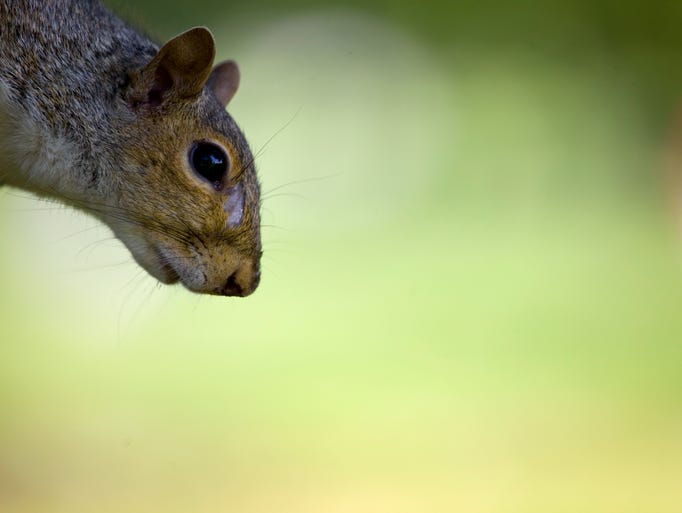 A squirrel in Old New Castle.