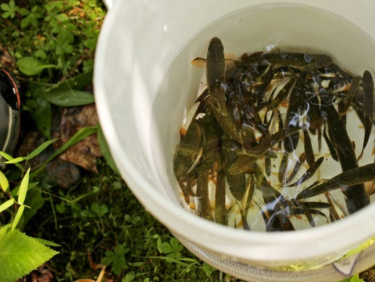 Blacknose dace, fantail darters and native brook trout