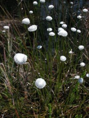 Bog buttons or hatpins develop in soft clumps in wetlands.
