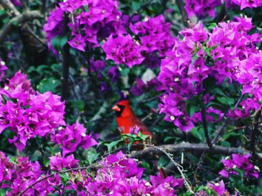 Leslie Ritacco, of Port St. Lucie, took this photo of a cardinal sitting on a branch in bougainvillea about a half mile from the Green River Parkway in Port St. Lucie.