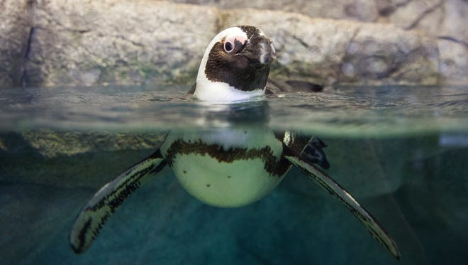 """An African penguin swims in its """"Penguins in Paradise"""" enclosure, a seasonal exhibit that is now open until April 15, 2018, at the Naples Zoo."""