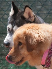 A siberian husky named Liberty, and a labrador retriever named Joey get some fresh air at the  Camden County animal Shelter. The dogs were rescued from a South Korean dog farm.