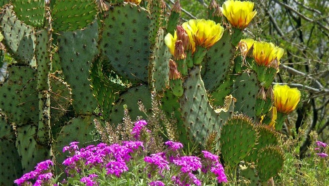 The Friends of Rockhound are accepting pre-orders for its Spring Native Plant Sale/Desert Alive Festival.