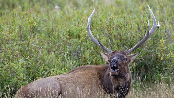 A bull elk bugles, attempting to attract a harem of female elk during mating season in Rocky Mountain National Park, Colo. Gene Wirick, an 82-year-old Lexington, Ohio hunter, bagged a 950-pound bull elk in Idaho, earlier this fall.