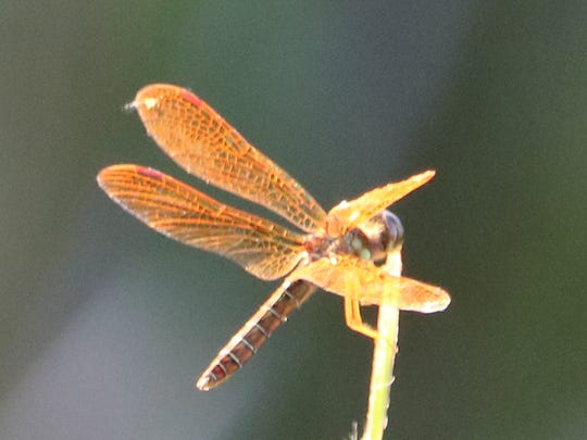 An Eastern Amberwing Dragonfly along the Wichita Valley