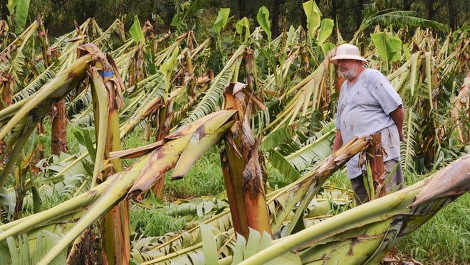 "Farmer of 32 years, Bernard Watson stands among damaged banana trees in one of several fruit producing fields on his Yigo farm on May 20. Watson says about 4000 banana tree and other agricultural producing plants, on his eight acre farm, are a ""total loss"" after being damaged by high winds during the passage of Typhoon Dolphin on Friday. Watson says, with the materials, labor and the destroyed crop, he estimates a financial loss of $200,000 at his farm. 