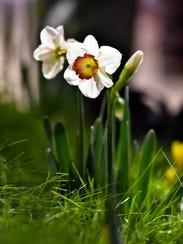 A starkly-lit daffodil is seen at the 2015 Vermont