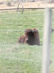 Buffalo on a USDA station north of Yellowstone National Park are part of an experiment using birth control as a way to fight the spread of brucellosis.
