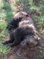 This carcass of this grizzly bear was discovered near