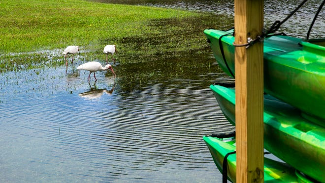 A flock of white ibis wade through standing water from Subtropical Storm Alberto in Riverside Park in downtown Bonita Springs on Sunday, May 27, 2018.