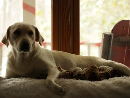 636180962687487087-thumbnail-Labrador-Adopts-Bulldog-Puppies-2-.jpg