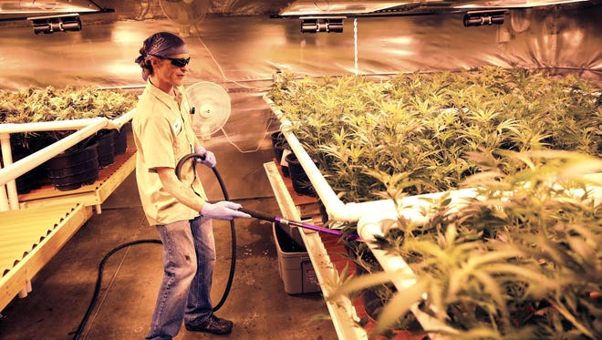 In this Dec. 27, 2013 photo, an employee waters pot plants inside a grow house, later to be harvested, packaged and sold at Medicine Man marijuana dispensary, which is to open as a recreational retail outlet at the start of 2014, in Denver.