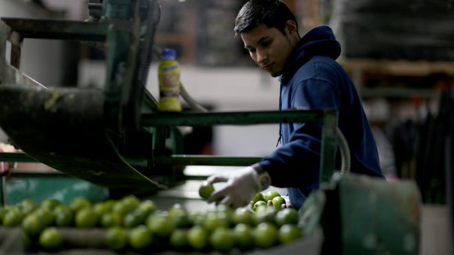 Jose Manuel Schrunder sorts limes that have been imported from Colombia at SA Mex produce on March 26, 2014 in Miami. The produce company said it hadn't received any lime imports from Mexico for the previous three days as a tight supply in Mexico drove up the availability as well as the prices for the citrus in the United States.