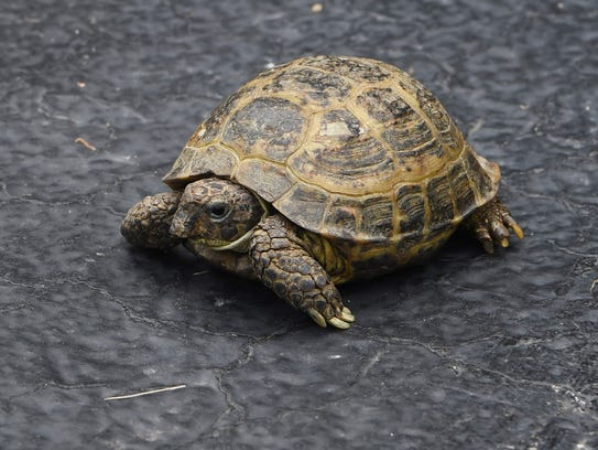 A Russian tortoise, one of the animals rehabilitated