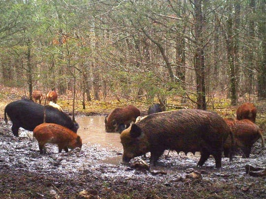 These destructive feral hogs pollute a spring on private property in Ozark County.