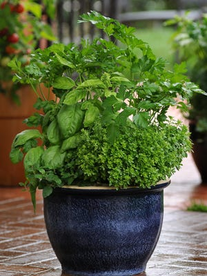 Basil, big leaf parsley and thyme make any summer dish taste delicious. It's even better when the herbs are planted in a beautiful pot.