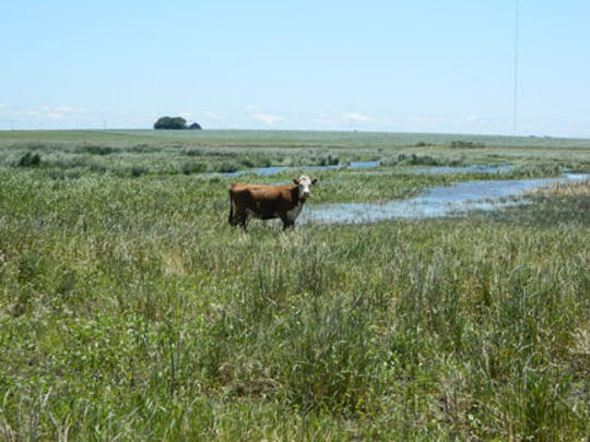 Cattle graze on reed canarygrass, an aggressive pest plant in Nebraska's Rainwater Basin. Grazing  could keep the invasive species in check, and provide economic return to cattle farmers.