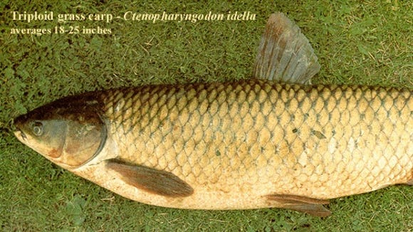 Full-grown tripoloid, or sterile, grass carp.