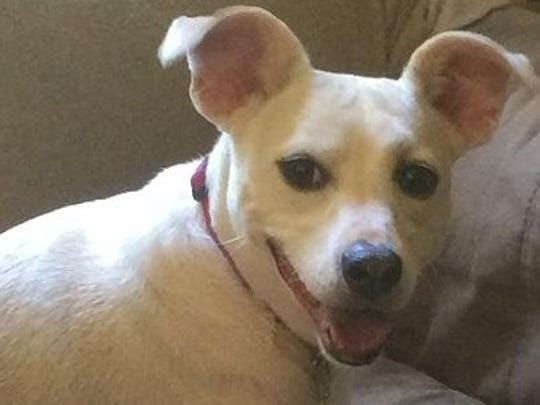 Daffy is a 5-year-old, spayed female whippet mix. She