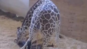 The 15-year-old giraffe delivered her calf shortly before 10 a.m. EST in an enclosed pen at the zoo in Harpursville, a rural upstate village about 130 miles northwest of New York City. The mama giraffe tenderly licked her calf, which began to slowly pick its head up from the floor of the pen.