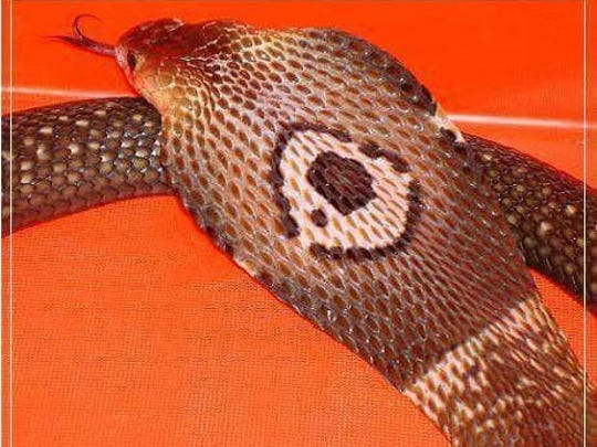This 5-foot Asian monocled cobra escaped from its enclosure