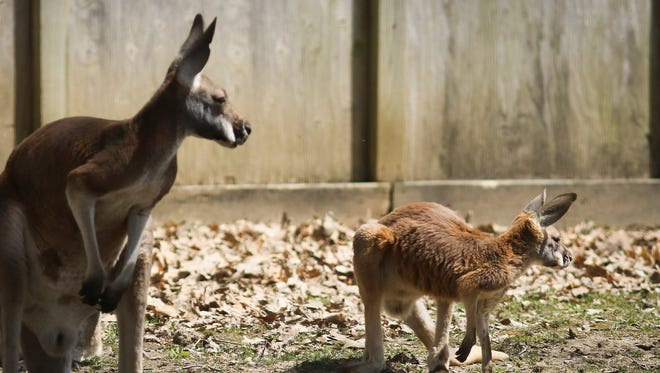 A young red kangaroo, hangs out with adult members of its mob Monday, April 24, 2018, at Potter Park Zoo.  This joey, or young kangaroo is about eight-months-old.