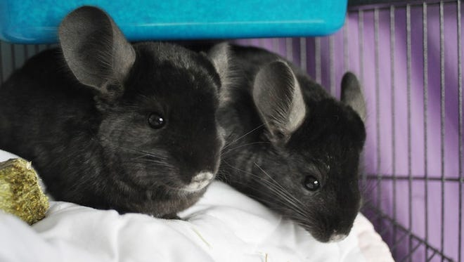 Brad and Angelina received Chinchillas as a wedding gift from PETA.
