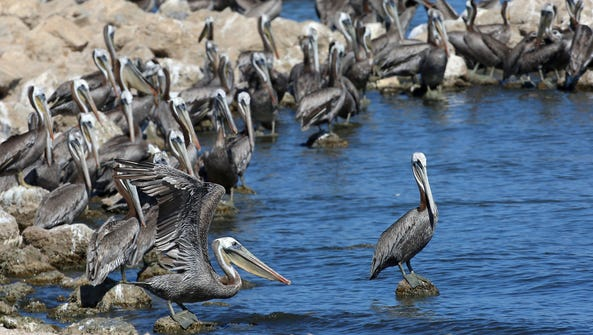 Hundreds of pelicans sun themselves at the Salton Sea