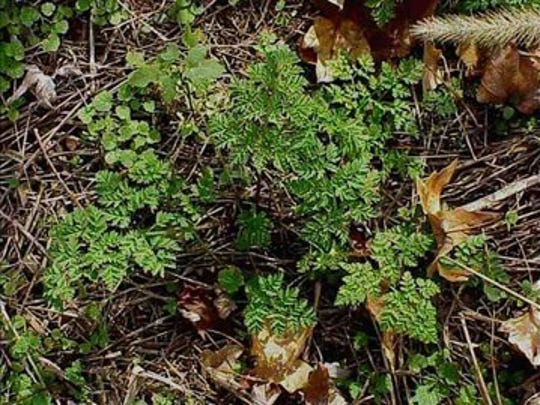 Figure 1 - Poison hemlock rosette.