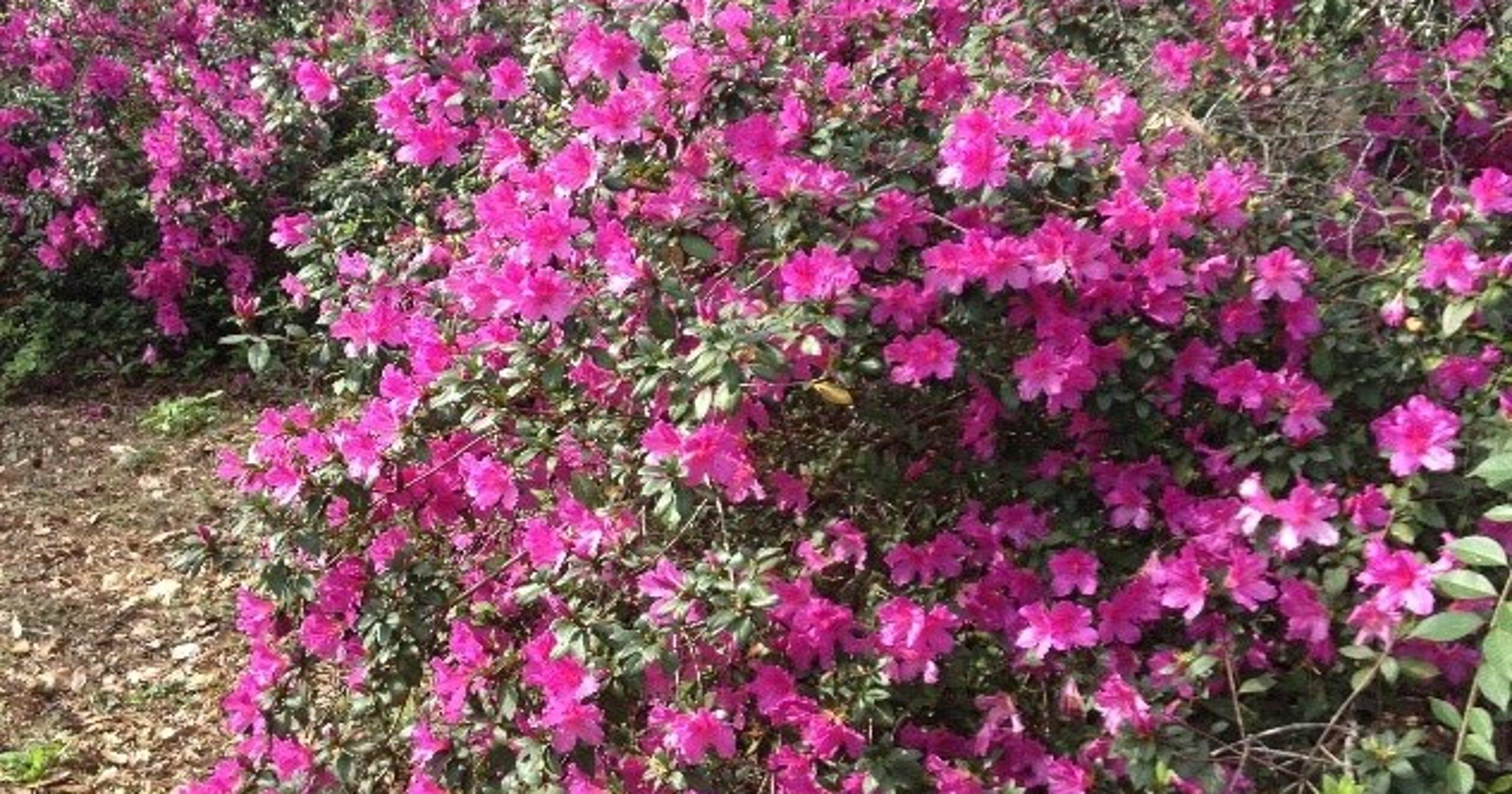 Prune Carefully To Encourage Azalea Blooms