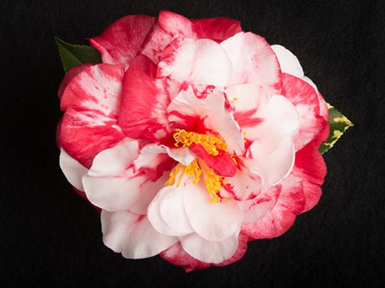 Edna Bass camellia