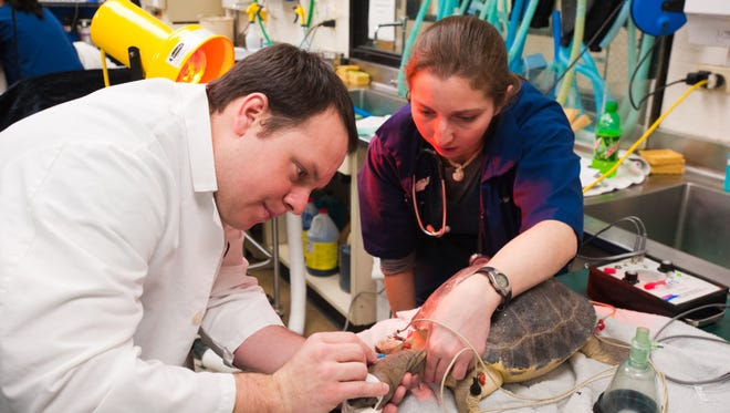 Anesthesiologists prepare an Asian water turtle for surgery at Colorado State University's James L. Voss Veterinary Teaching Hospital.