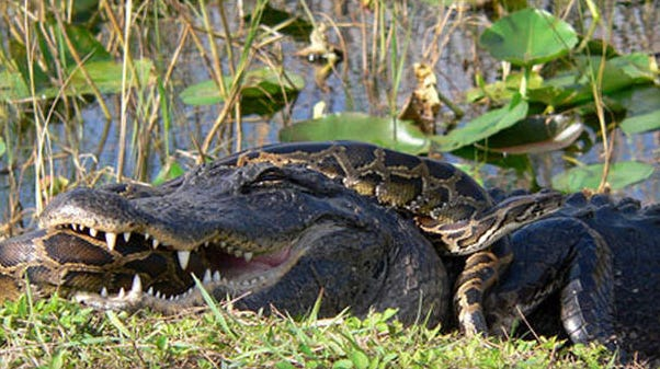 how did burmese pythons damage the florida everglades ecosystem