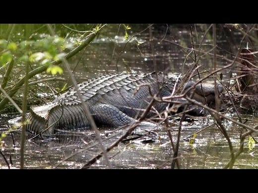 the alligator river story The story is an example of a moral/ethical dilemma the alligator river  story there lived a woman named abigail who was in love with.