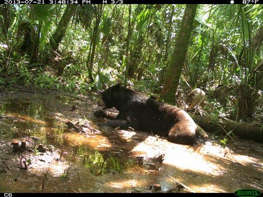 Fwc still bullish on bear hunt for Florida fish wildlife