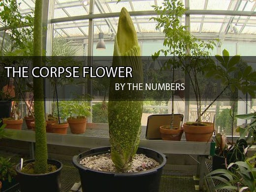 Live Webcam Watch The Corpse Flower Bloom