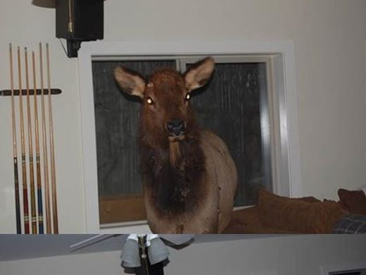Big Elk Hangs Out In Man 39 S Living Room