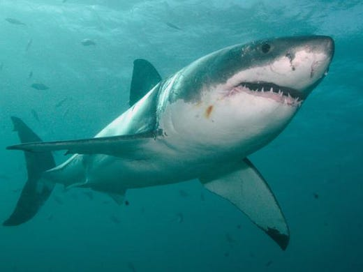 how to say great white shark in japanese