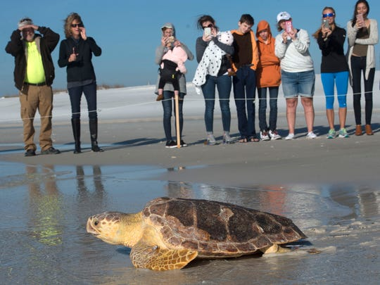 Meeko, a Loggerhead sea turtle, crawls her way back into the Gulf of Mexico after being released at Pensacola Beach Thursday morning. Meeko was rescued off the Navarre fishing pier on Sept. 30, heavily tangled in fishing gear. The young adult sea turtle was sent to rehabilitation at the Gulfarium C.A.R.E center.