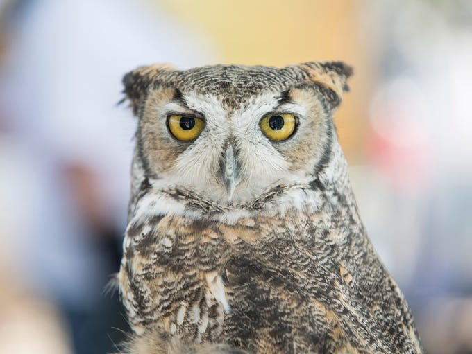 A great horned owl from Fallen Feathers thinks wise