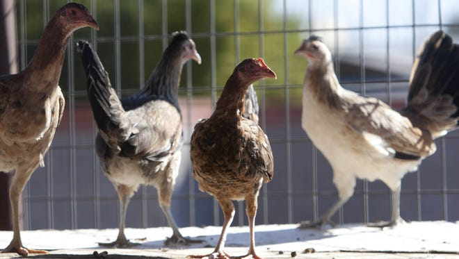 Chickens sit in a backyard coop.