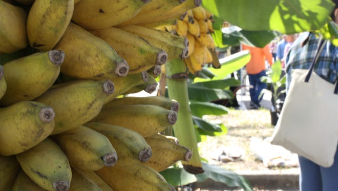 Banana trees are a good option to grow in Florida.